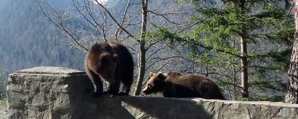 Familie de ursi pe Transfagarasan